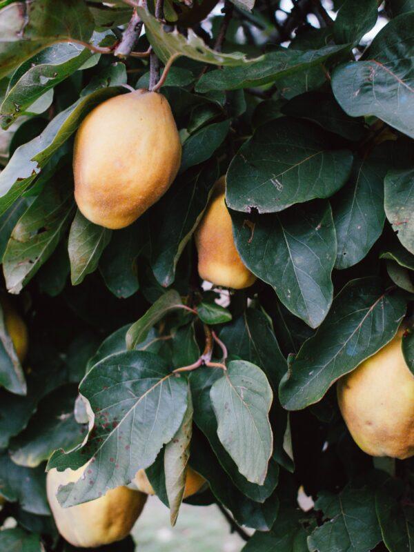Mangopasjon, mango - stockphoto (Unsplash)